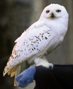 Hedwig_Snowy_Owl_PM